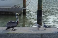 der Erklär-Pelikan