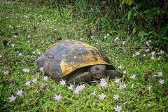 Florida turtoise (Landschildkröte)
