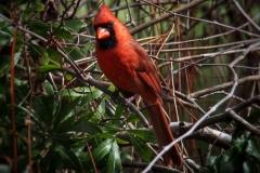 ein Kardinal
